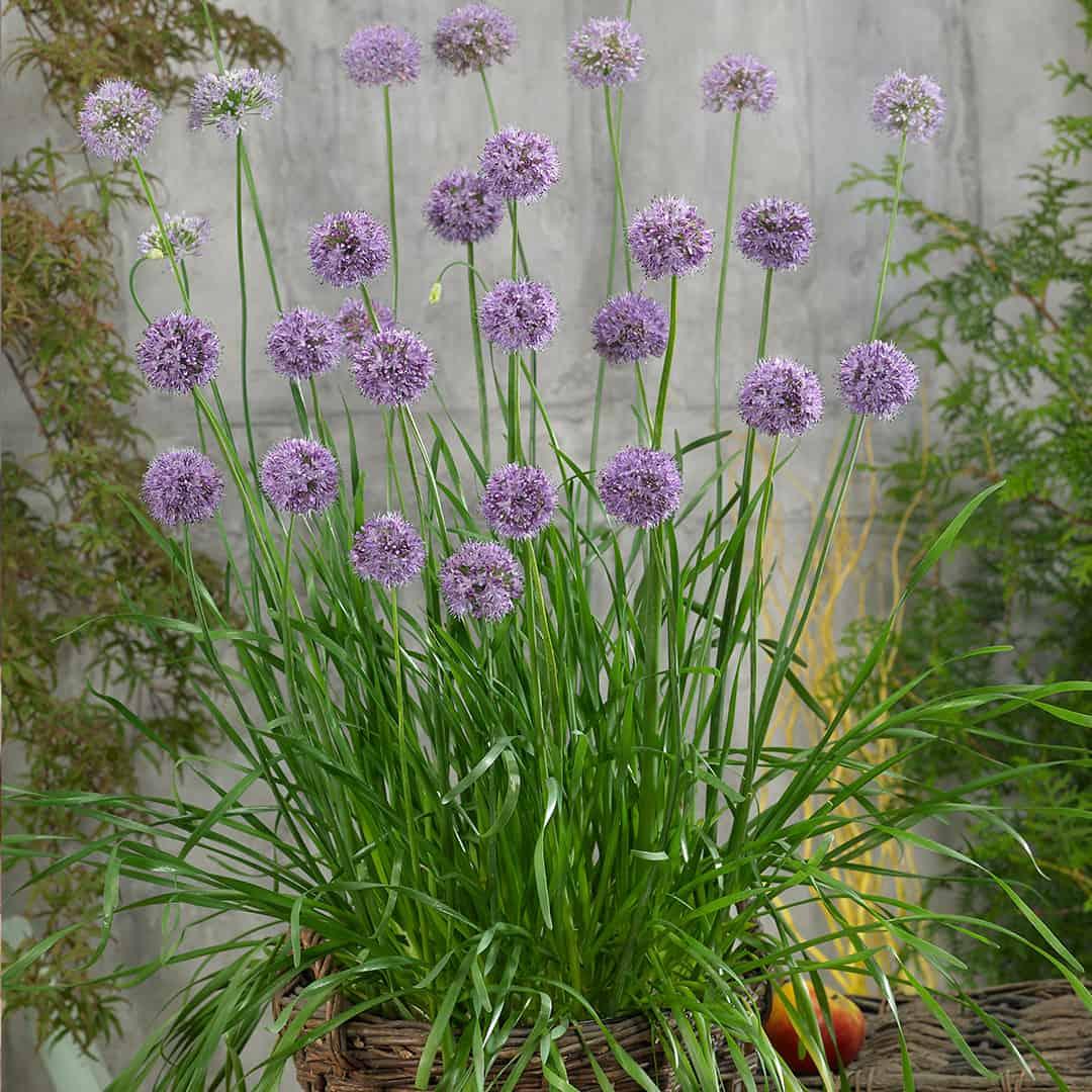 Allium Quattro