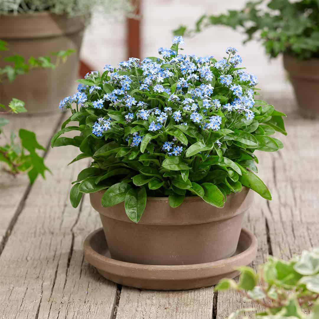 MYOSOTIS EVA BLUE® F1
